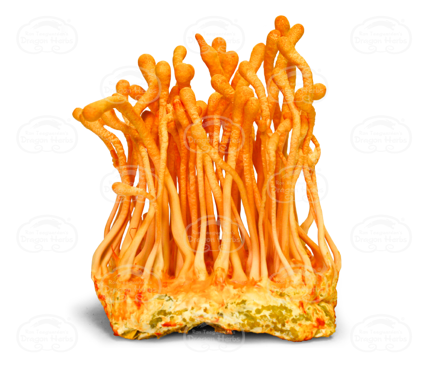 Cordyceps Cultured Fruiting Body