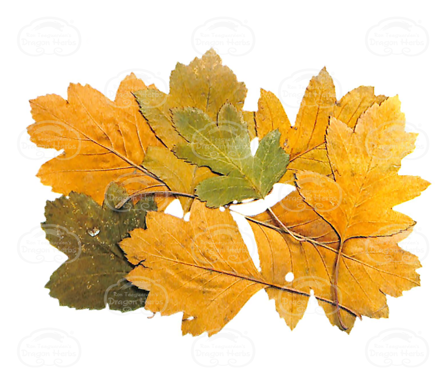 Hawthorn Leaf