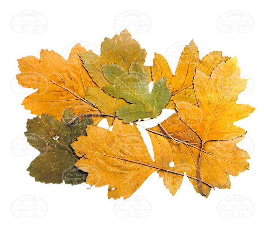 Hawthorne Leaf