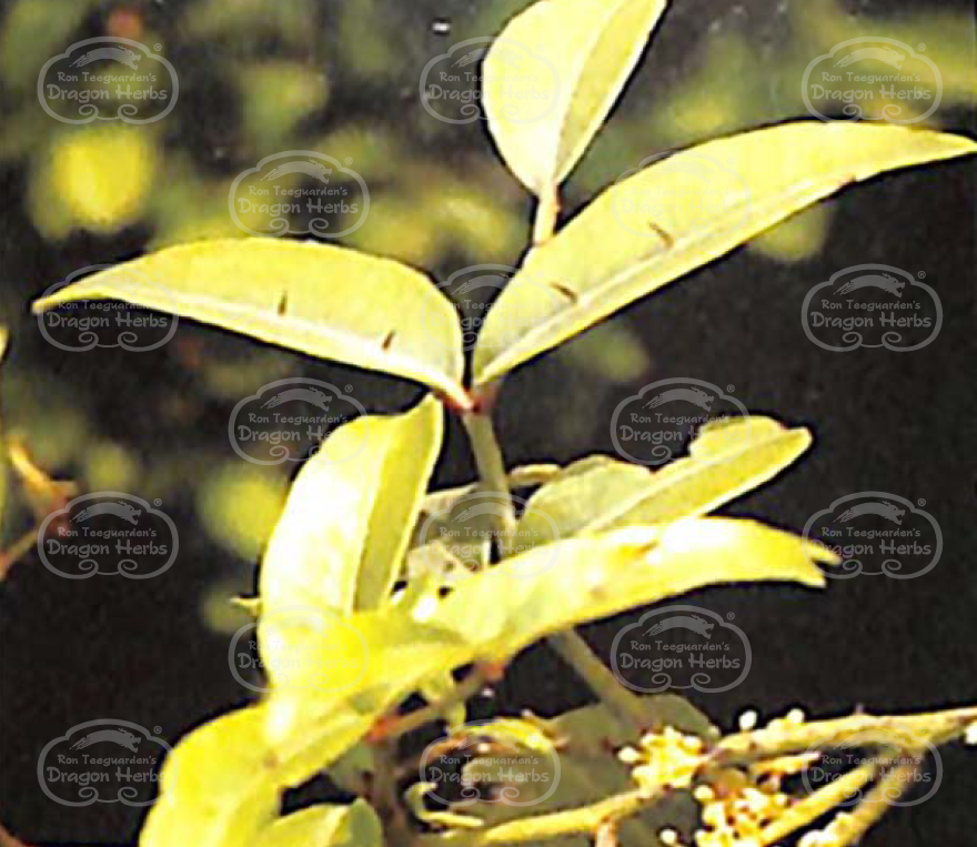 Zanthoxylum nitidum