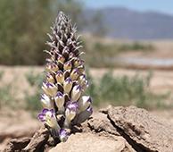 Cistanche flower