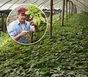 Ron and Asian Ginseng root fields