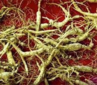 Collecting Wild Ginseng 4 - Video