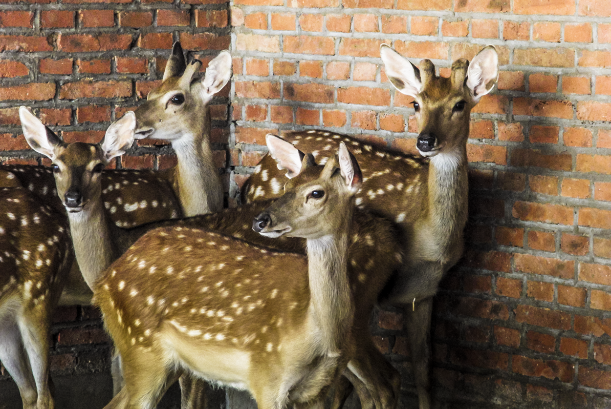 6928807cb4b Deer are highly valued in the Chinese culture and are respected and loved  by their care givers. Deer are considered in Asia to be a