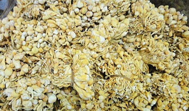Rice-cultured Cordyceps