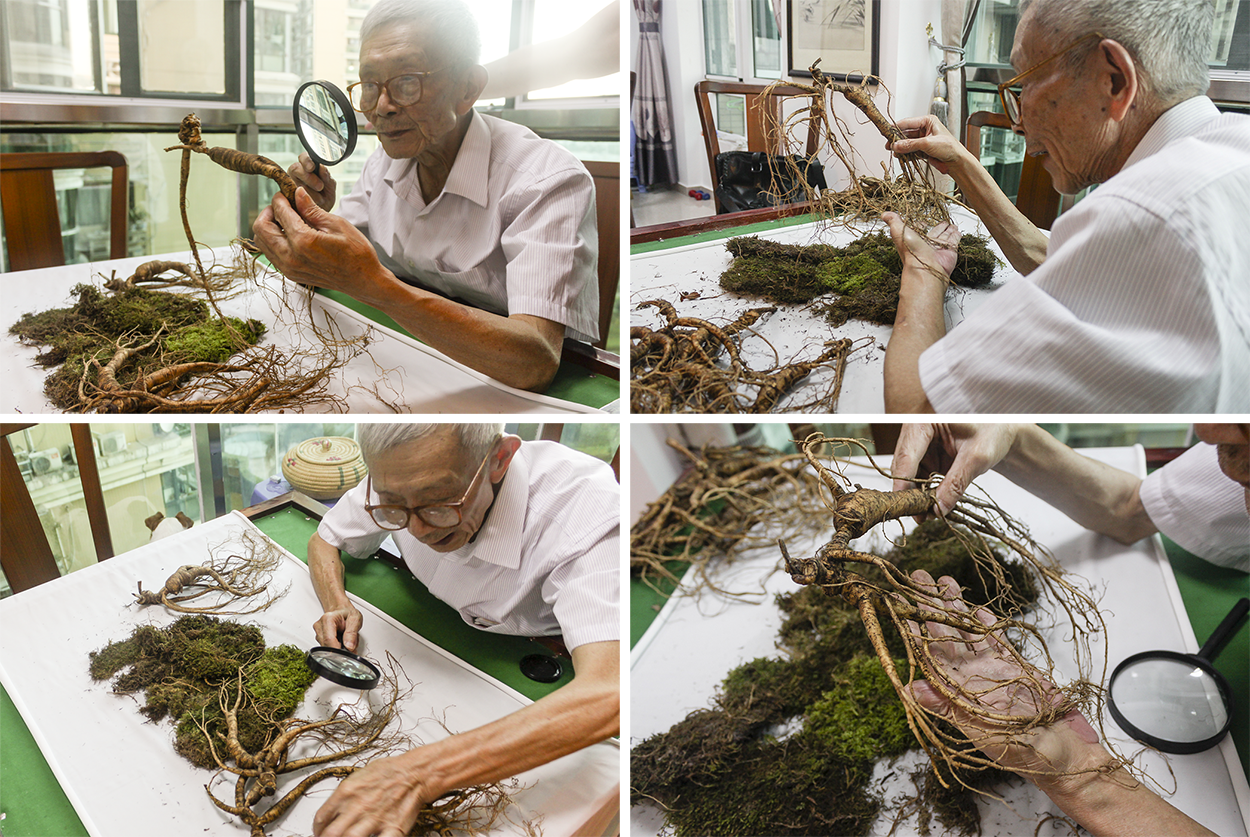 Mr. Yan inspecting the very old wild ginseng roots for production
