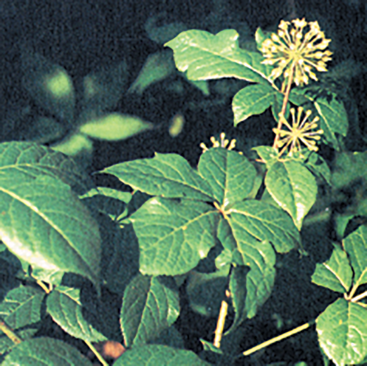 eleuthero-root
