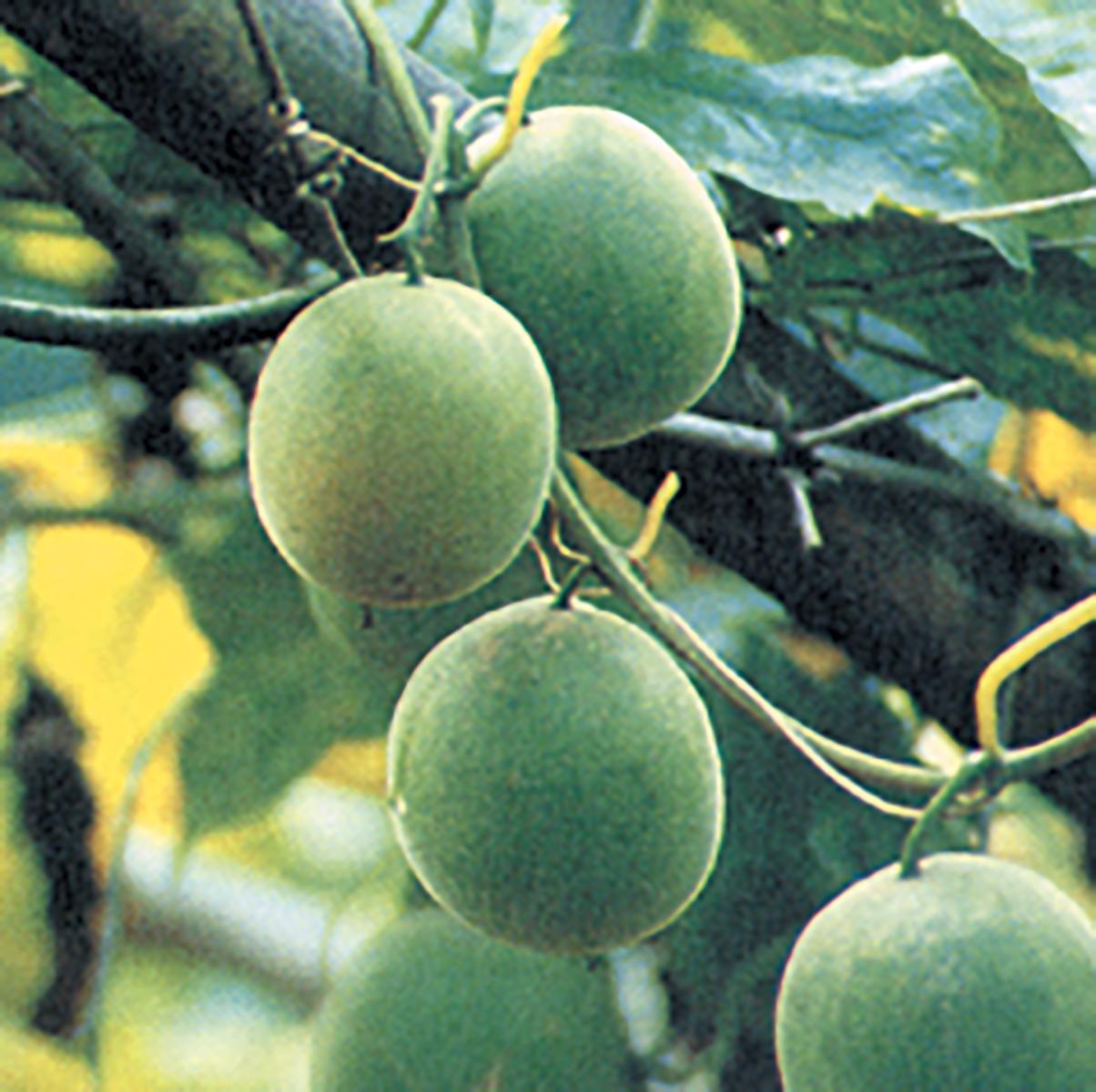 lo-han-guo-fruit