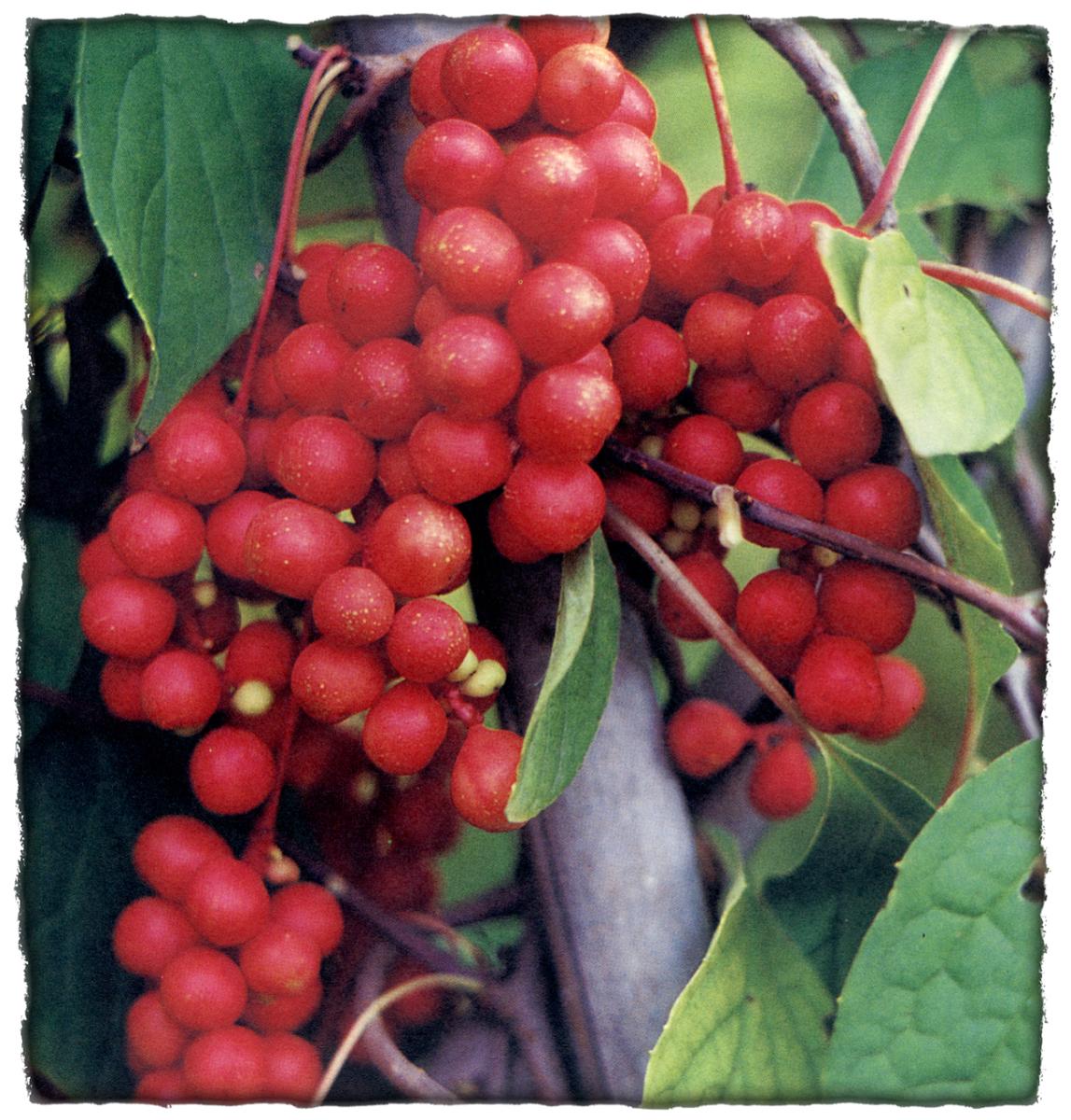 schizandria-fruit