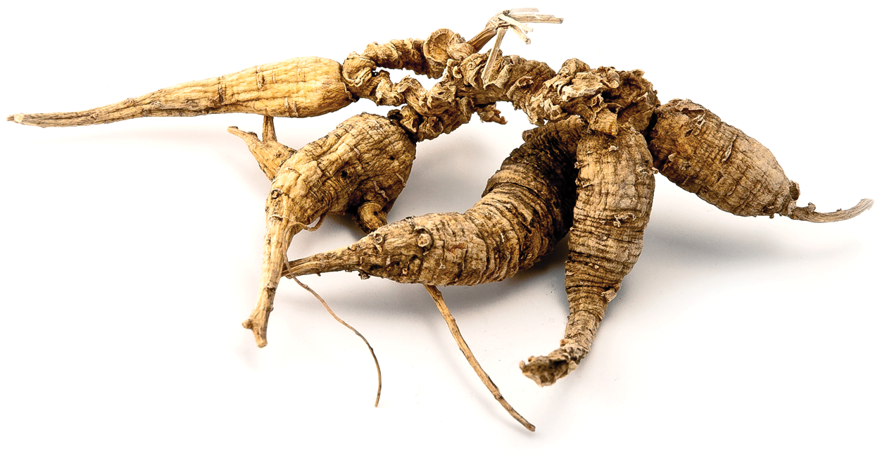 wild American Ginseng roots
