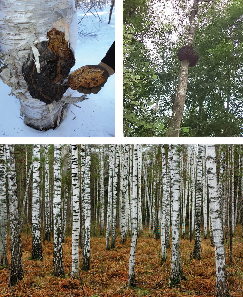 Chaga In Siberian Forest