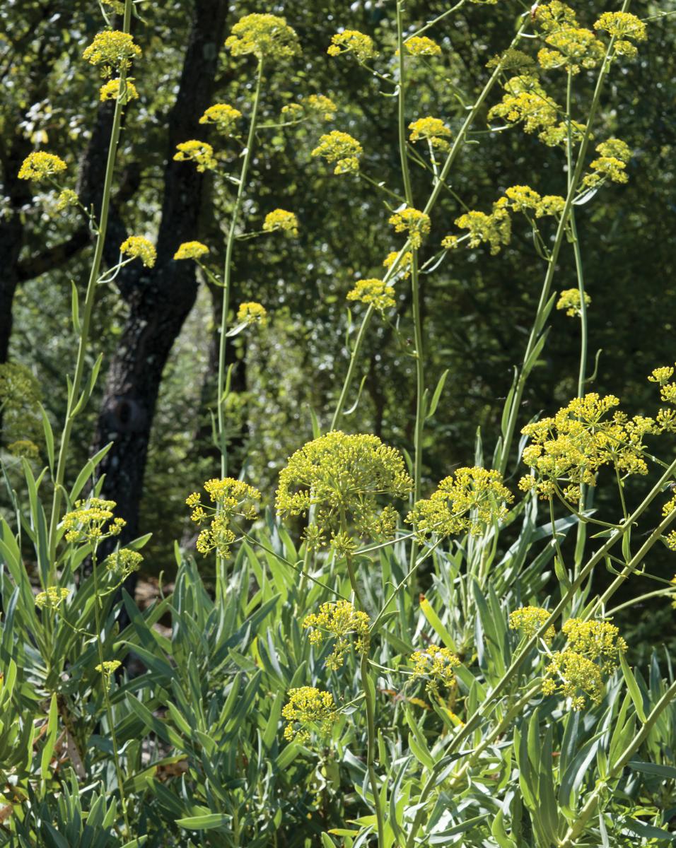 Bupleurum Leaves And Flowers