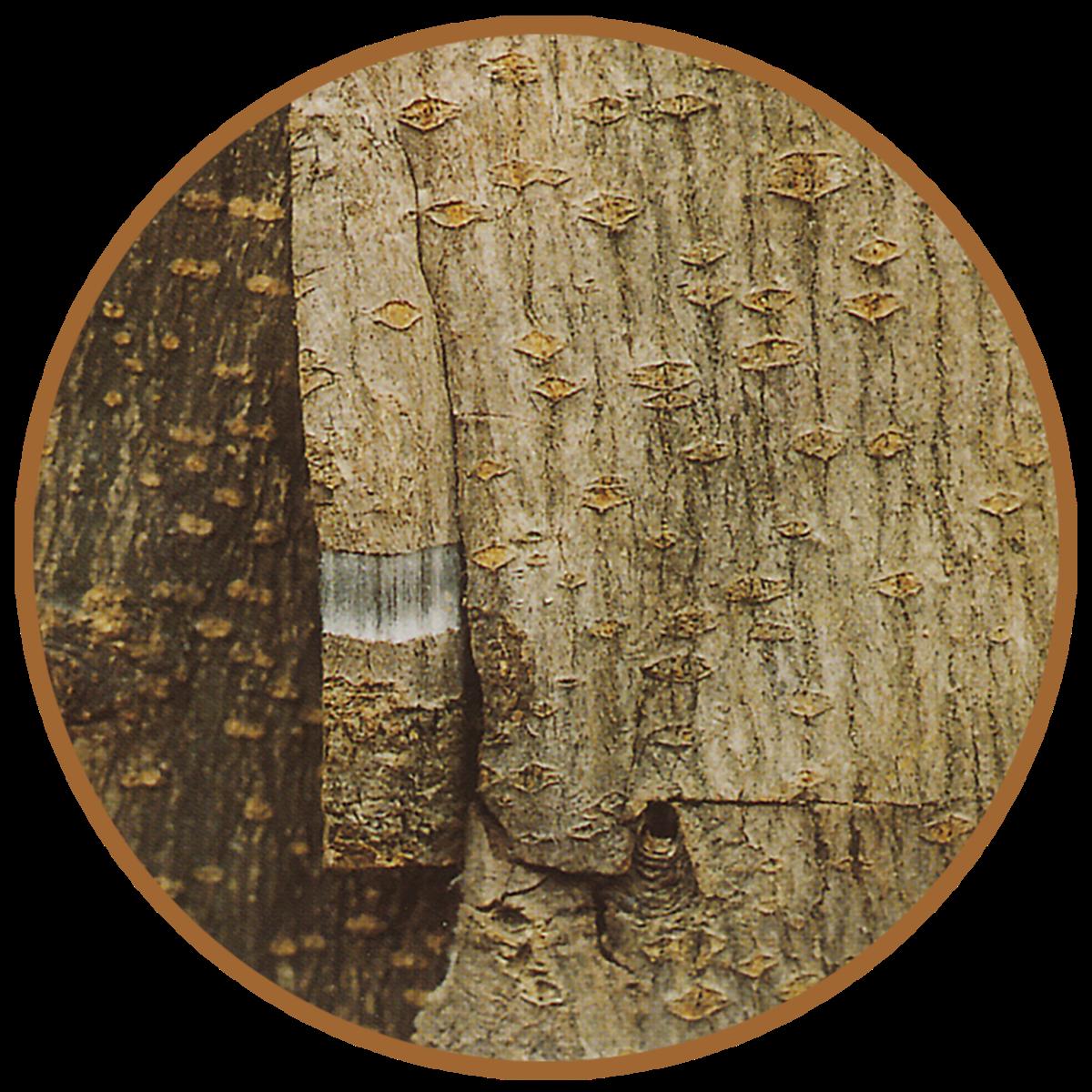eucommia bark with white latex