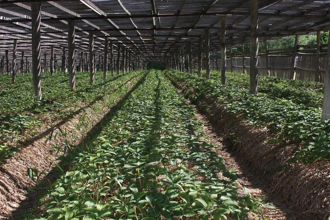 Organic Ginseng Plantation