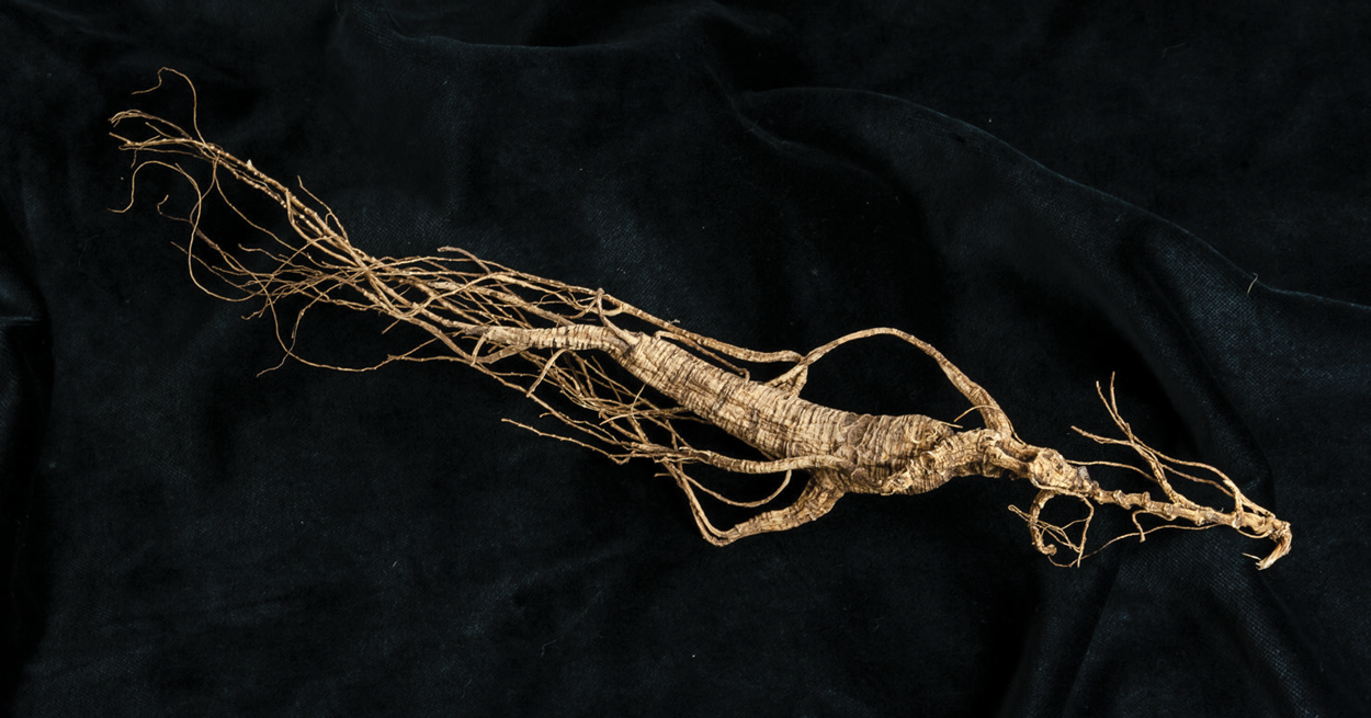 Wild Chinese Ginseng Root