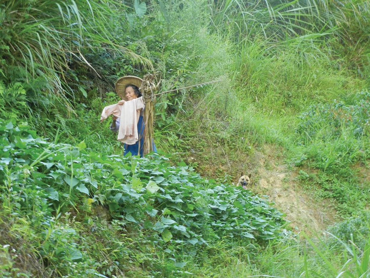Scarecrow Gynostemma Fields