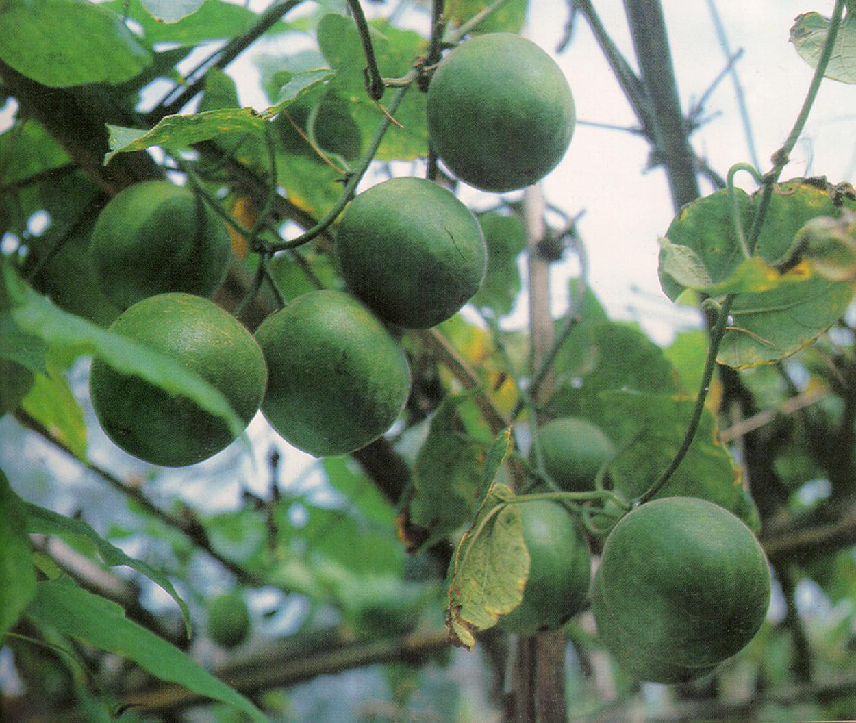 growing luo han guo