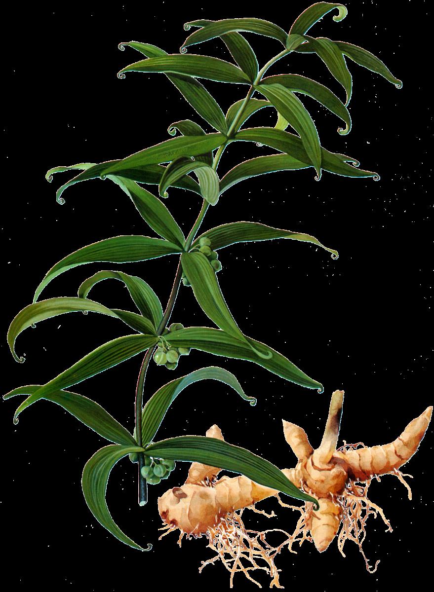 Polygonatum
