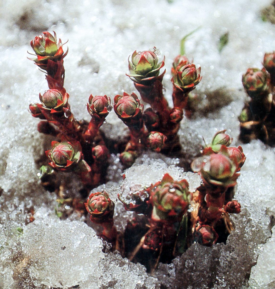 Rhodiola In Snow