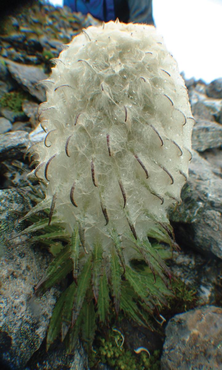 Wild Snow Lotus flower