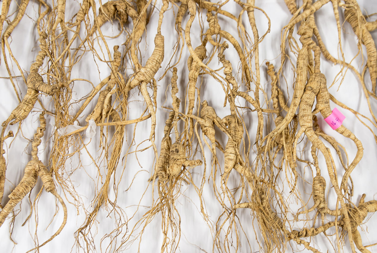 50 year old wild American Ginseng