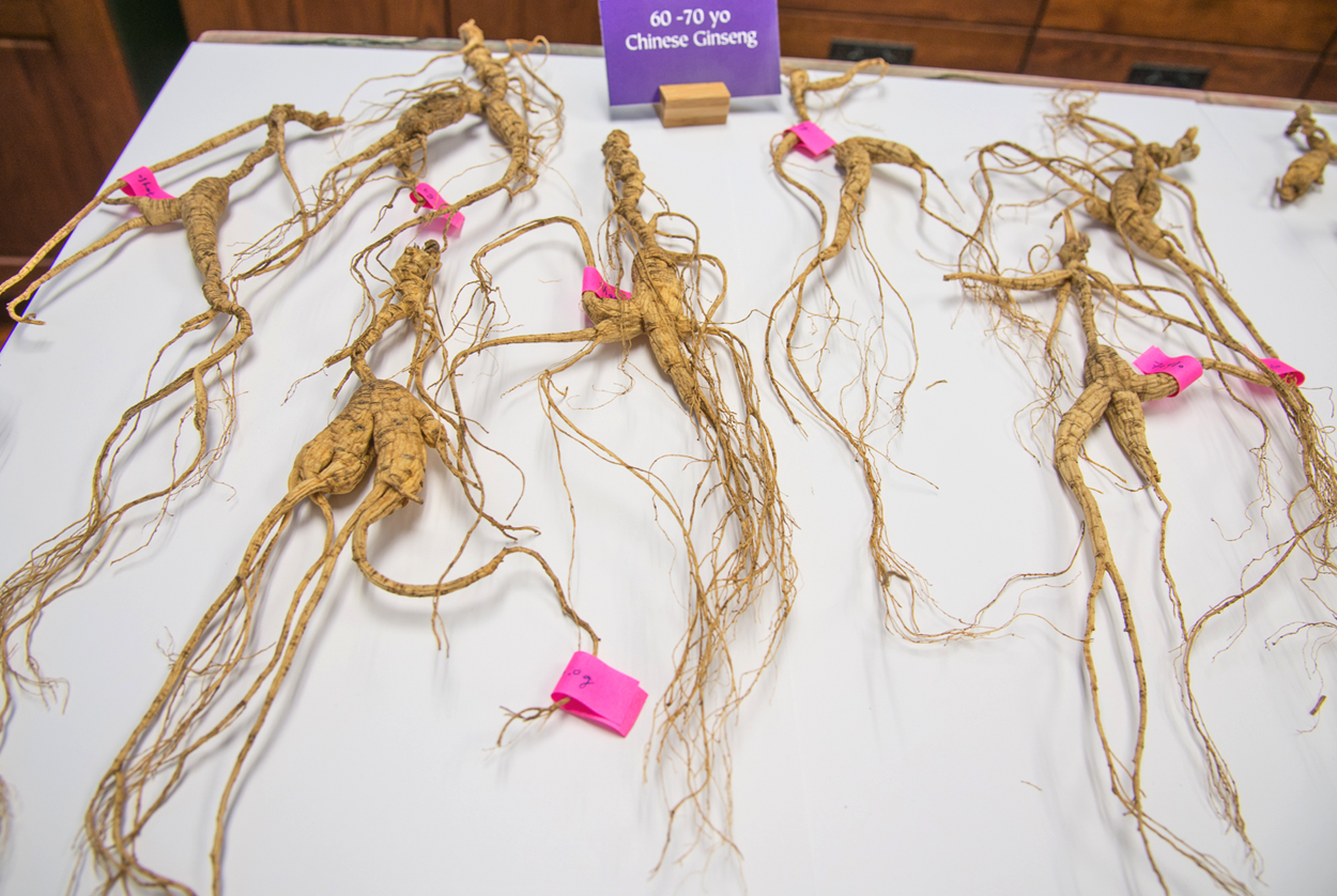 70 year-old ginseng roots at Dragon Herbs office